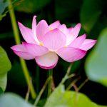 新豆情報 『Vietnam Cafe Lotus』